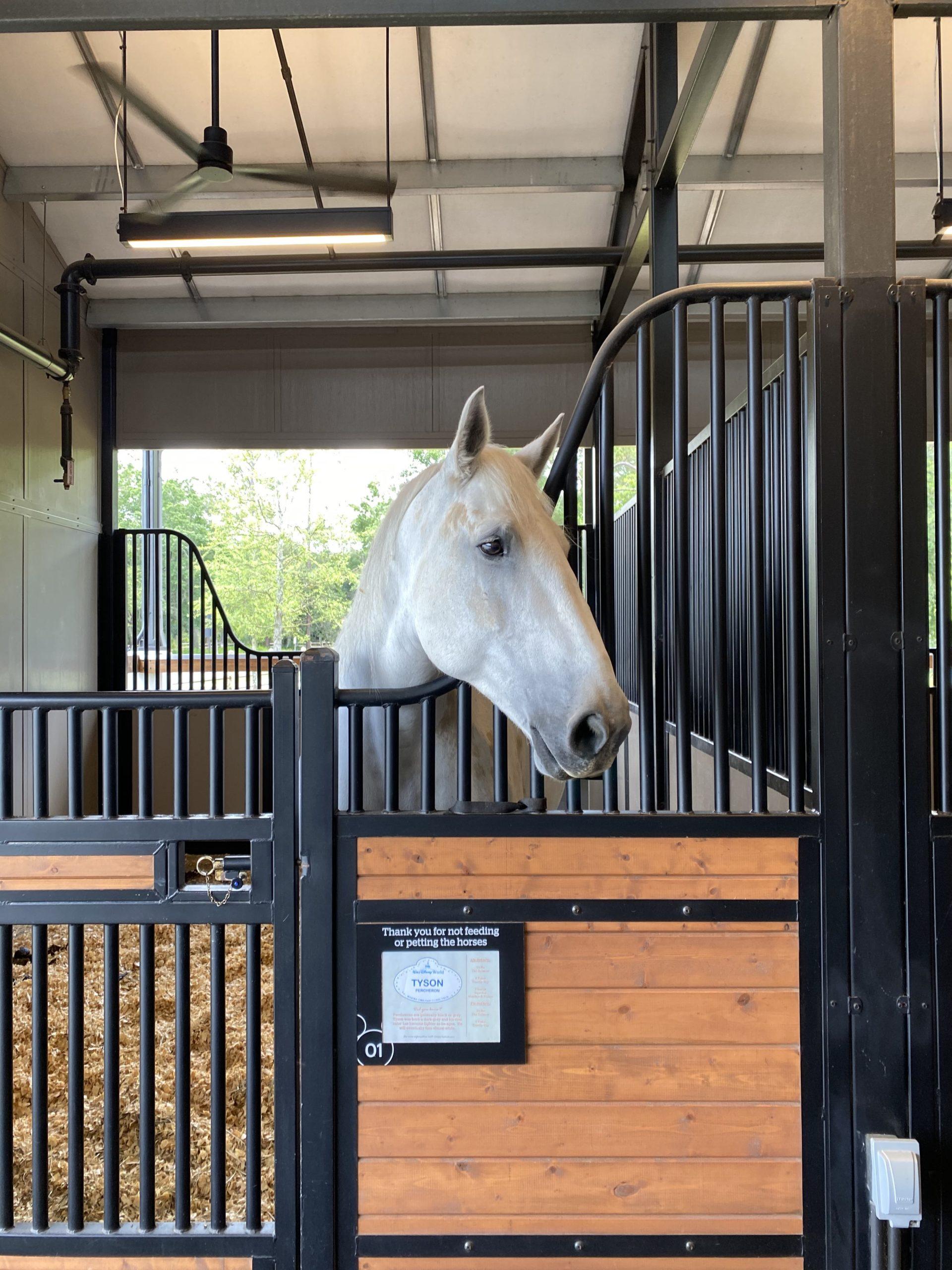 Tyson, Percheron at Tri-Circle-D Ranch